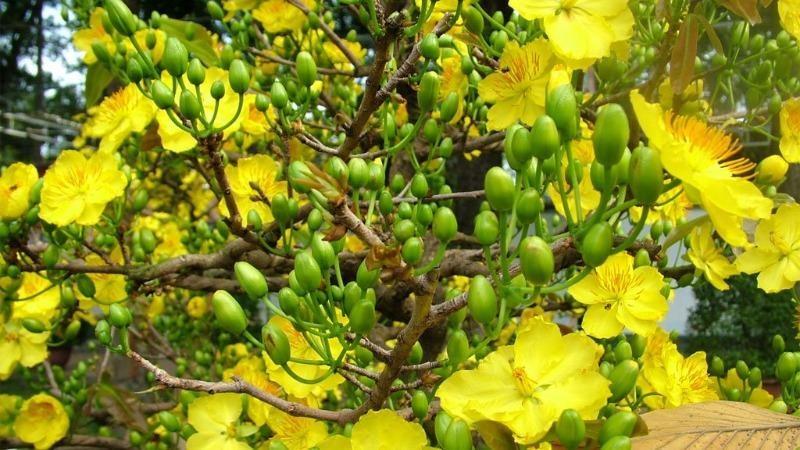 Cành mai nhiều lộc non, hoa nở rực rỡ báo hiêu một năm may mắn.