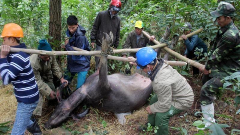 Đợt rét đậm, rét hại đang diễn ra khiến nhiều trâu, bò bị chết.