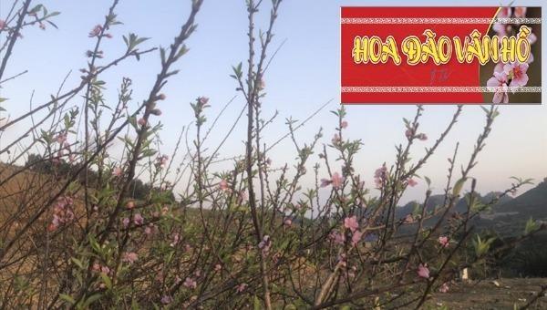 UBND huyện Vân Hồ đã phát hành tem xác nhận nguồn gốc cây đào trồng.
