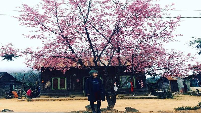 Mai anh đào, nét đẹp đặc trưng của phố núi Đà Lạt.