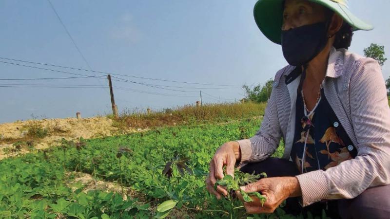 Bệnh khảm lá sắn xuất hiện trên một số diện tích trồng xen cây đậu ở Thừa Thiên -Huế.