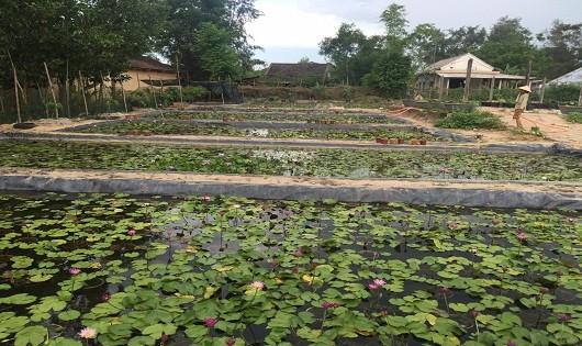 Vườn trồng hoa súng hơn 1hecta mang về thu nhập cho gia đình Khanh hàng chục triệu đồng mỗi tháng