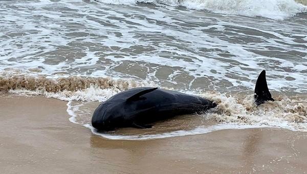 Cá thể cá voi nặng 500 kg trôi dạt vào bờ biển TT- Huế