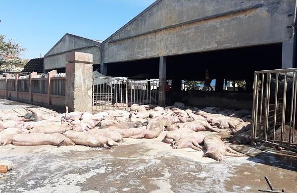 Phát hiện ô tô chở 86 con lợn chết đến lò mổ ở Huế