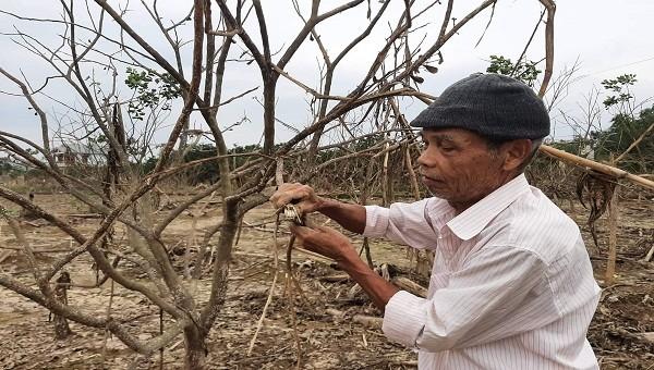 Người dân xứ Huế điêu đứng vì hàng trăm ha cây thanh trà bị chết do ngập nước