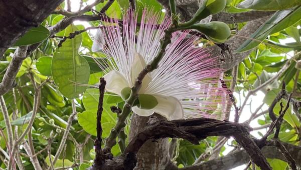 Đẹp ngỡ ngàng mùa hoa bàng vuông nơi đảo tiền tiêu Lý Sơn