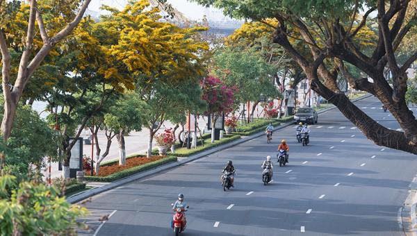 Sắc hoa sưa ươm vàng Đà Nẵng