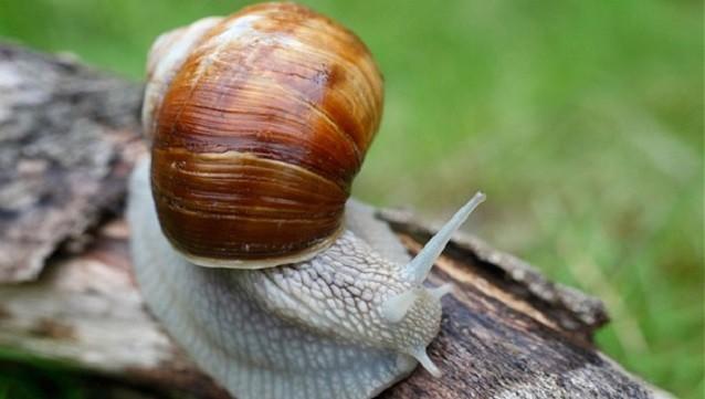 Ốc sên là vật chủ trung gian của loài giun tròn, khi ăn phải sẽ gây bệnh cho con người