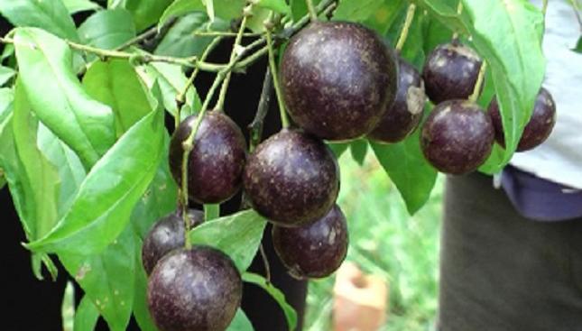 Loại quả Hồng trâu mà người H'Mông thường gọi là quả gai xanh