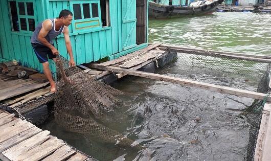 Một hộ nuôi trồng thủy sản tại vịnh Bến Bèo.