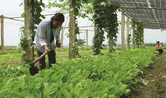 Với rau an toàn Thanh Hà khâu làm đất là khâu quan trọng nhất.