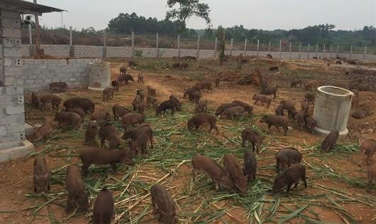 Trang trại lợn rừng online tại Hoà Bình.