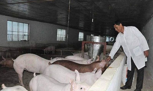 Ông Long trong khu chăn nuôi lợn