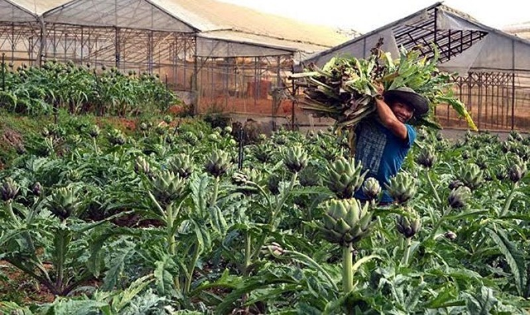 Cây dược liệu  atiso được trồng tại Đà Lạt. Ảnh: Internet