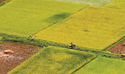 Chuyển đổi đất lúa sang trồng cây lâu năm: Phải có sự đồng thuận  của người dân