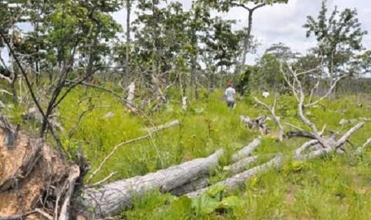 Nhiều khu rừng ở huyện Ea Súp (Dak Lak) bị chặt phá không thương tiếc.