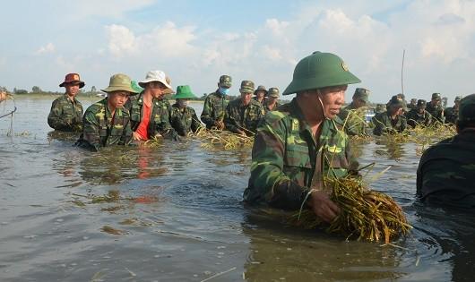 Xúc động Đại tá Chính ủy dầm mình trong lũ gặt lúa giúp người dân
