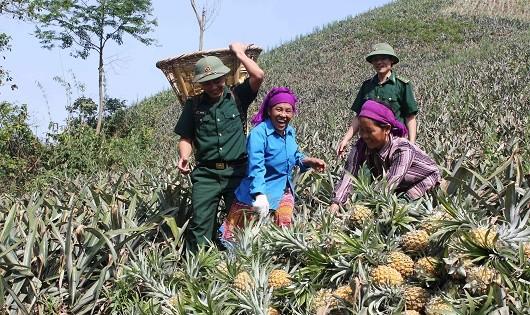 Đồn BP Bản Lầu giúp người dân thu hoạch dứa.