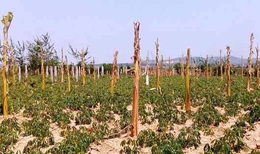 Hàng trăm trụ bê-tông, cây chuối được người dân trồng tạm để chờ tiền đền bù.