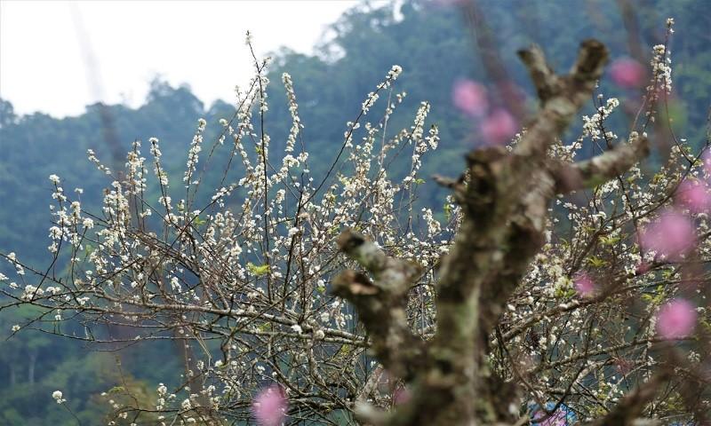 Hoa mận, hoa đào khoe sắc lộng lẫy ở miền Tây Nghệ An