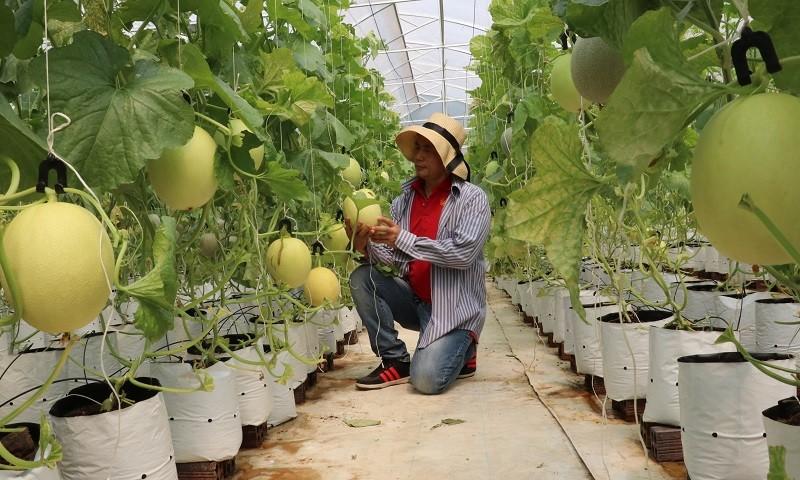 Khu nông nghiệp công nghệ cao theo mô hình khép kín trồng dưa lưới quanh năm tại Bình Phước.