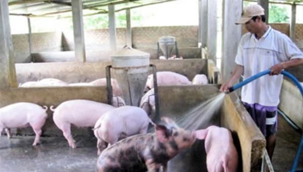 Bơm nước cưỡng bức hoặc các chất khác vào vật nuôi có thể bị phạt đến 50 triệu đồng