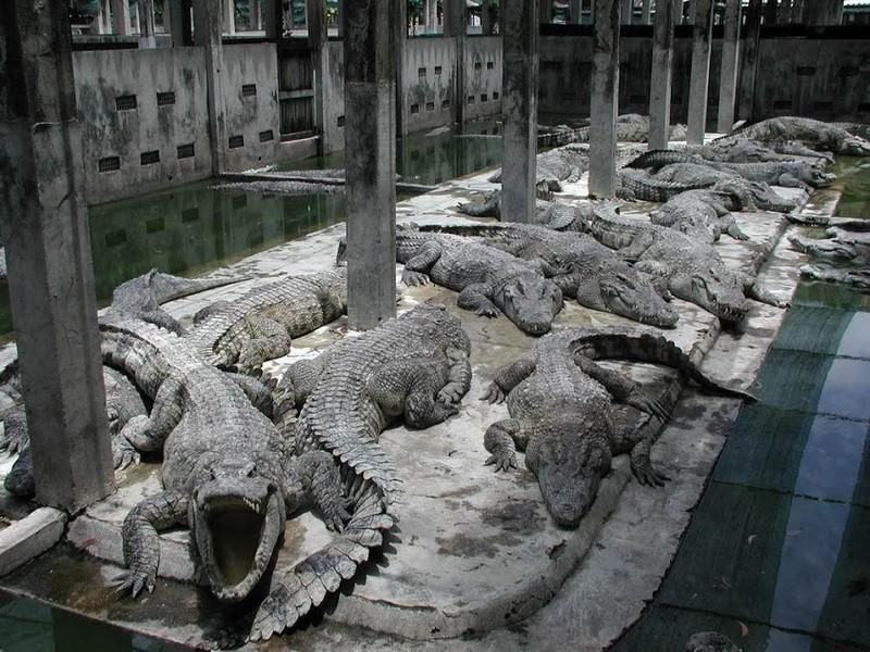 Sự phát triển của các cơ sở gây nuôi đã dẫn đến sự diệt vong của loài cá sấu Xiêm trong tự nhiên ở Việt Nam