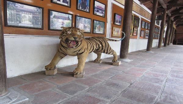 Tiêu bản hổ được nhà chùa ở Bắc Giang chuyển giao.