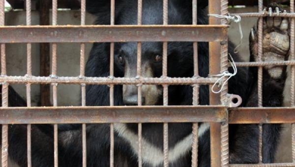 Tiếp nhận 2 cá thể gấu ngựa tại Sông Mã, Sơn La về cơ sở bảo tồn