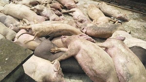 Dịch tả lợn châu Phi bùng phát ở huyện miền núi Nghệ An (ảnh tư liệu)