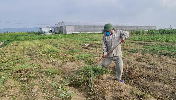 Rau ế ẩm, nông dân Nghệ An ứa nước mắt đổ bỏ