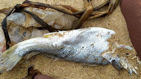Đầu tháng 4/2021, dọc bờ biển đoạn qua xã Nghi Thiết xuất hiện cá chết không rõ nguyên nhân.