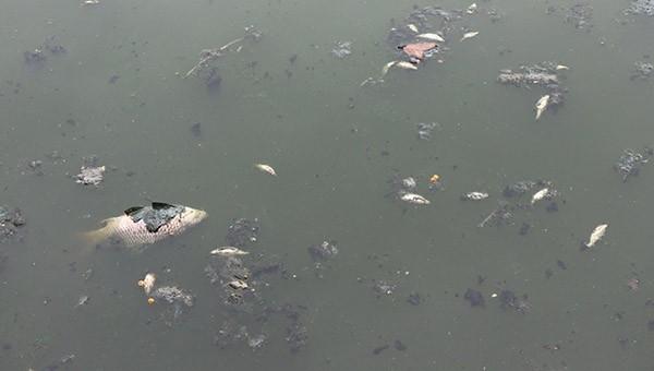 Cá chết bốc mùi hôi thối tại Hồ điều hòa Công viên Trung tâm TP.Vinh