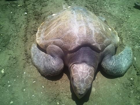 Thả rùa biển 20kg về biển