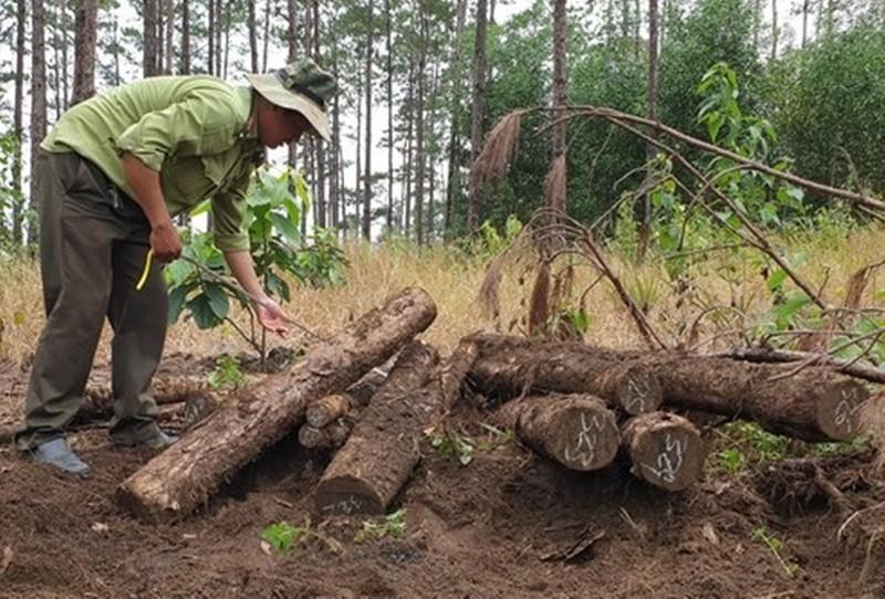 Lâm Đồng: Đang điều tra vụ phá rừng, cưa hạ, chôn lấp số lượng lớn gỗ thông xảy ra tại Tiểu khu 443