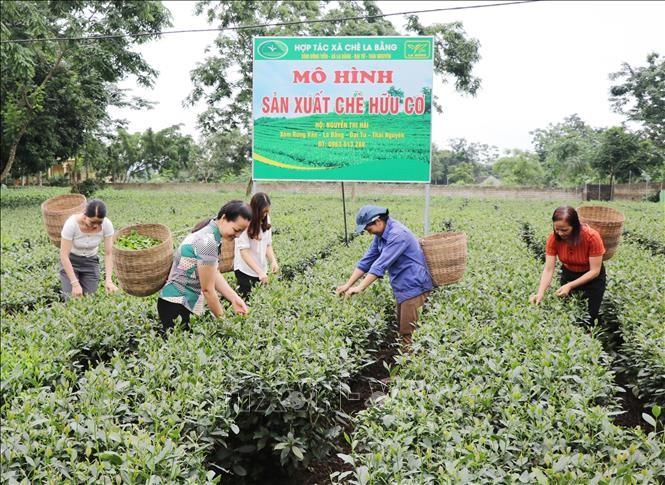 Những điều làm nên thương hiệu trà Thái Nguyên