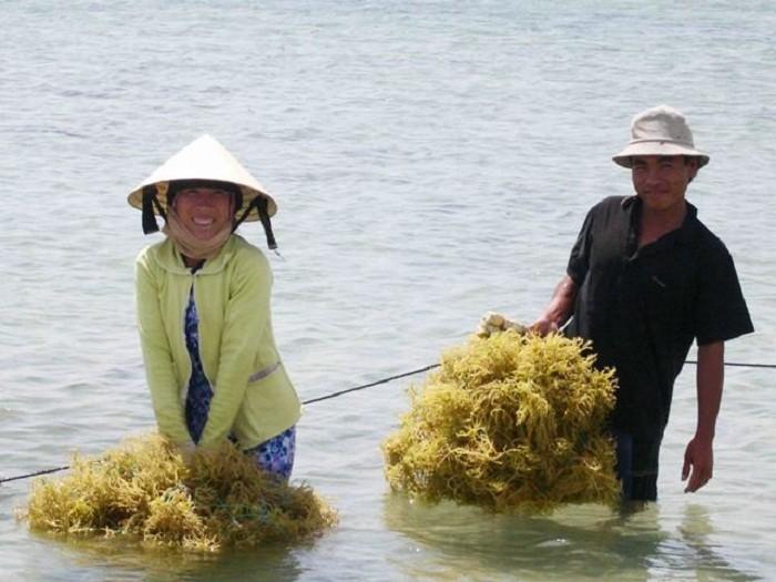 Ninh  Thuận: Rong biển đã trở thành một phần của đời sống người dân vùng biển