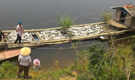Người dân nuôi cá lồng bè rớt nước mắt nhìn cảnh cá chết trắng vớt lên.