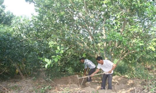 Dân trồng bưởi đặc sản Chí Đám trăn trở băn khoăn khi làm thủy điện cột nước thấp. Ảnh: Xuân Hồng