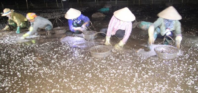 Người dân huyện Tiền Hải thu gom ngao chết.