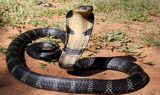Con rắn cắn ông Hoà là 1 con rắn hổ mang chúa (Ảnh minh hoạ)