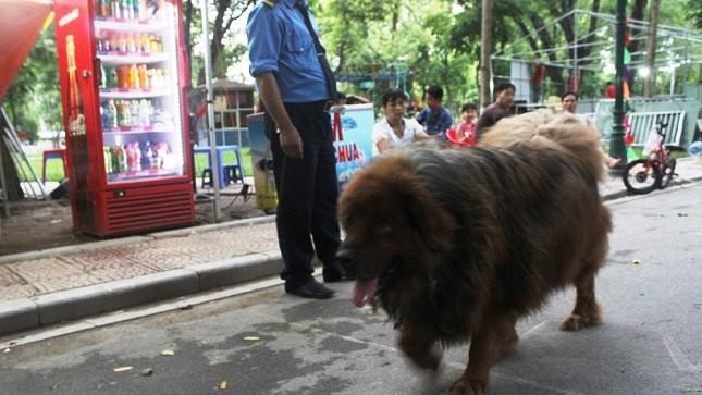 """Giống chó dữ Ngao Tây Tạng """"vô tư"""" đi dạo trước bảo vệ trong Công viên Thống Nhất."""