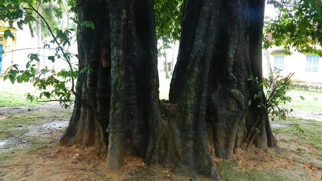 Cả làng khúm núm sợ cây thị hai nhánh gần 500 tuổi