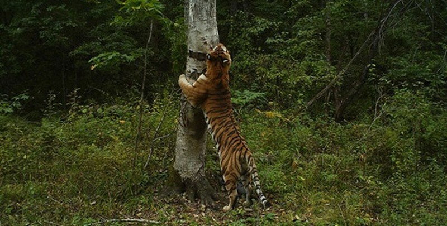 Loài hổ Siberia chỉ còn dưới 400 con. Ảnh: Alexander Batalo