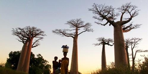 """Mozambique - Bình minh trên những ngọn cây """"lộn ngược"""""""