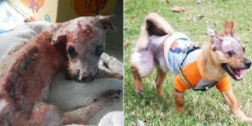 Chú chó bị dội nước sôi sống sót nhờ phép màu của lòng nhân ái