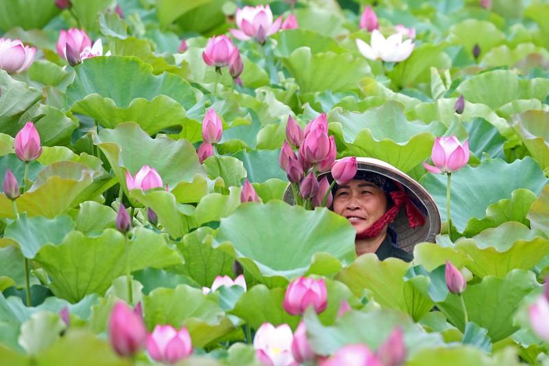 Say đắm vẻ đẹp sen Tràng An - Đông Triều đầu mùa