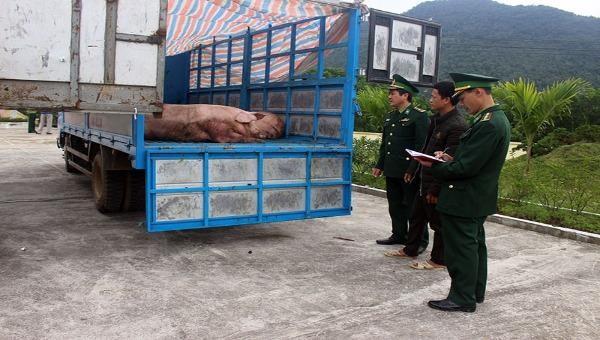 Thu giữ 1,8 tấn lợn thịt đang trên đường qua biên giới tiêu thụ