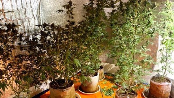 Đối tượng trồng cần sa trong nhà kín.