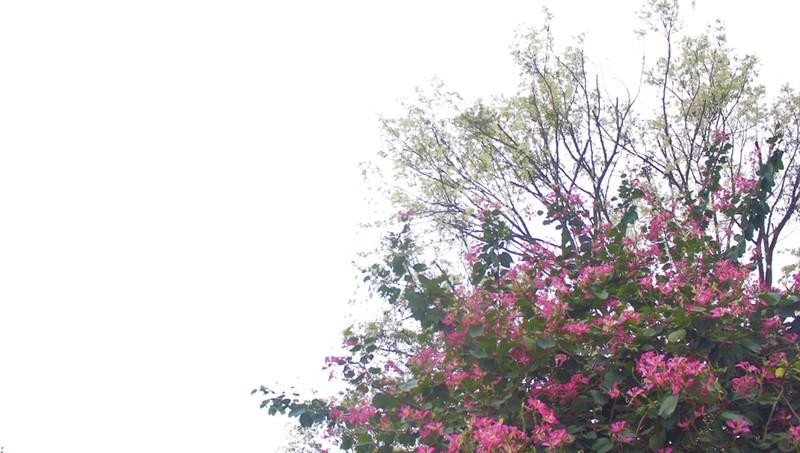 Nhiều khoảnh trời Hà Nội rạo rực màu tím hoa ban